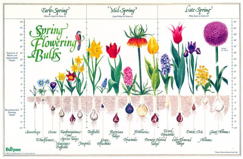 Bulb Chart