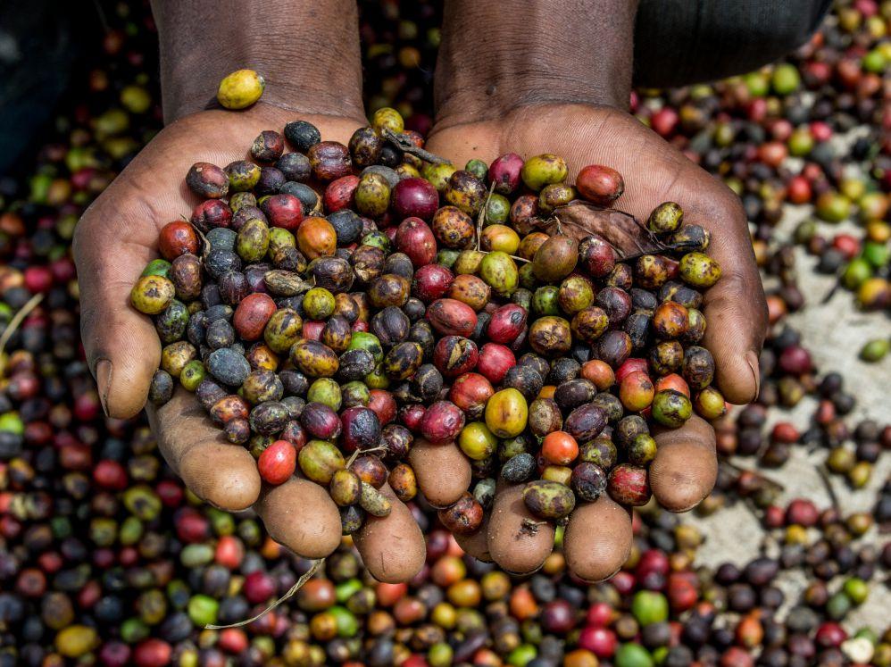 Você conhece mesmo o café queniano?