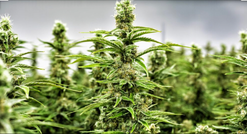 Cannabis_Investors