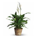 6083 - Simply Elegant Spathiphyllum Santa Maria CA delivery.