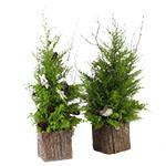 1888 - Cedar Tree Santa Maria CA delivery.