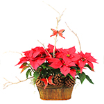 2311 - California Poinsettia Santa Maria CA delivery.