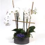 2338 - Zen Phalaenopsis Santa Maria CA delivery.