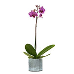 2390 - Phalaenopsis Orchid - Small Santa Maria CA delivery.