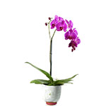 2392 - Phalaenopsiss Orchid - Lg Spike Santa Maria CA delivery.