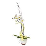 2587 - Chessa Orchid Plant Santa Maria CA delivery.
