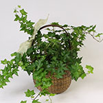 2590 - Ivy Plant Santa Maria CA delivery.