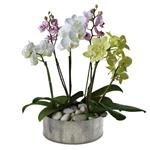 6089 - Regal Orchids Santa Maria CA delivery.