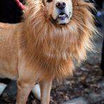 Chien-déguisé-en-lion