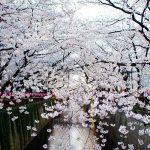 4-Tokyo-cherry-blossoms-Japon