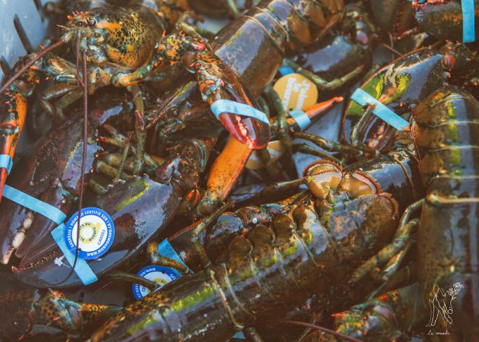 La saison des homards débute bientôt