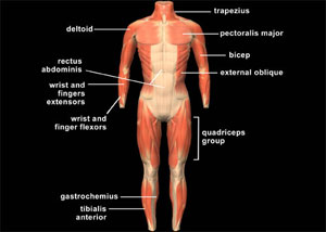 muscular system meaning