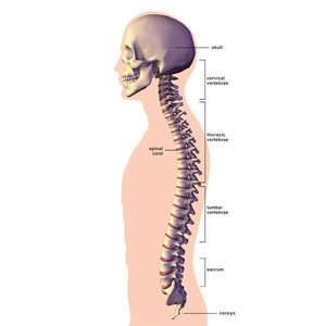 Skeletal system teen health and wellness diagram of the spine ccuart Gallery