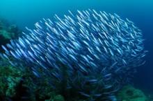 Onecolumn school of fishes