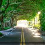 Banyan Tree Covered Road Stuart Florida