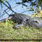 Florida Alligators January 2015 Gator Basking in Sun