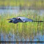 Blue Heron in Flight over Wetlands Bird Photography