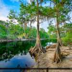 Cypress Trees along Fisheating Creek River Palmdale Florida