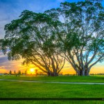 Ficus Tree Sunset Royal Palm Beach at Commons Park