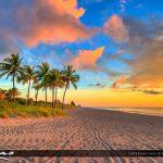 Hollywood Beach Coconut Palm