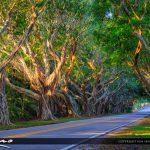 Bridge Road Tree Canopy in Hobe Sound Florida