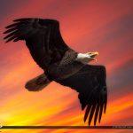 Soaring Eagle Over Twenty Mile Bend in Wellington Florida