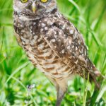 Burrowing Owls Nest Brian Piccolo Sports Park Hollywood Florida