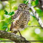 Burrowing Owls Brian Piccolo Sports Park Hollywood Florida