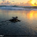 Baby Sea Turtle Sunrise Off to Ocean