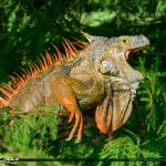 Wakodahatchee Wetlands Large Iquana South Florida Invasion