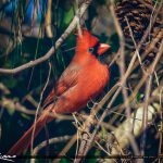 Bright Red Cardinal Male Palm City Florida