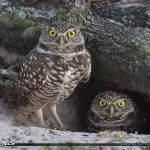 Burrowing Owls in South Florida Brian Piccolo Park