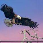 Florida Eagle landing on a Branch