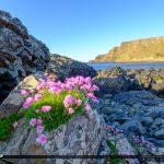 Bright Flowers Giants Causeway Bushmills Northern Ireland