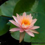 Lily Pink Flower McKee Botanical Garden Vero Beach Florida