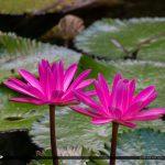 Bright Pink Lily Flower McKee Botanical Garden Vero Beach Florid