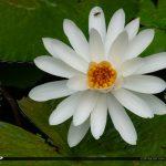 Large White Lily Flower McKee Botanical Garden Vero Beach Florid