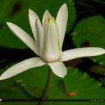 Lily Swamp Flower McKee Botanical Garden Vero Beach Florida