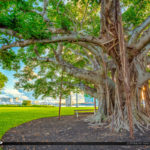 Underneath the Banyan Tree in Palm Beach Island Royal Park Marin