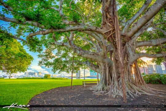 Underneath the Banyan Tree in Palm Beach Island Royal Park Marin
