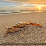 Dead Crab Redtide Gulf Coast Anna MAria Island Florida