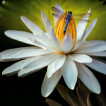 Dragonfly on Lily Flower