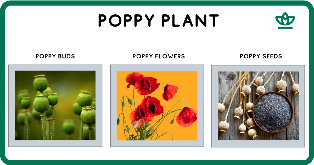 poppy plant from which heroin is made