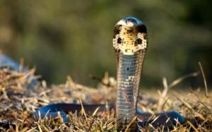 Cobra in a grassy field