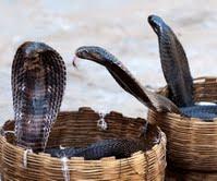 Three Cobras in baskets