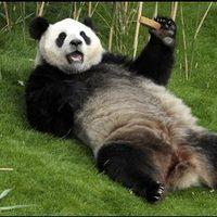Belgium china panda 1 768x432
