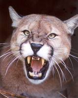 Cougar mountain lion puma cody4