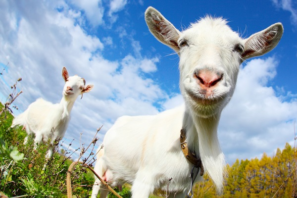 goat - photo #19