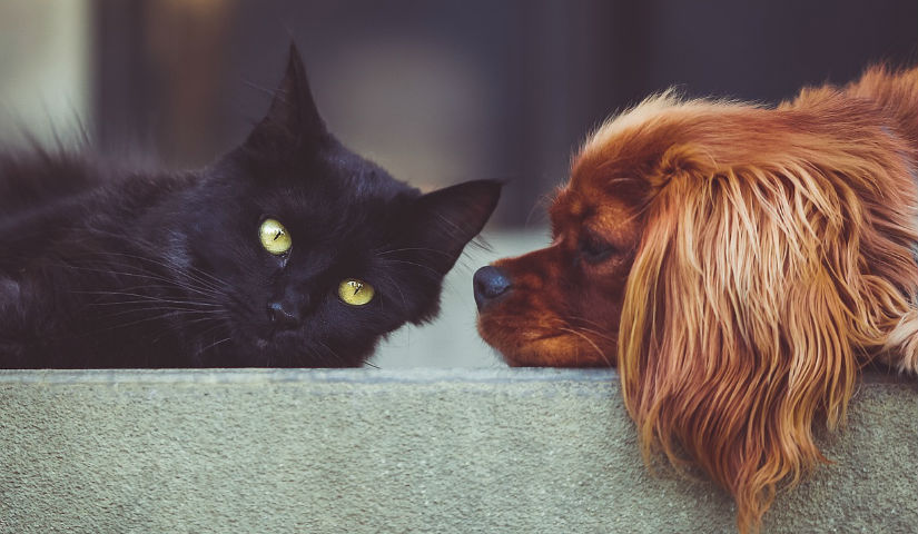 Imagen de un gato negro junto a un perrito de raza cocker