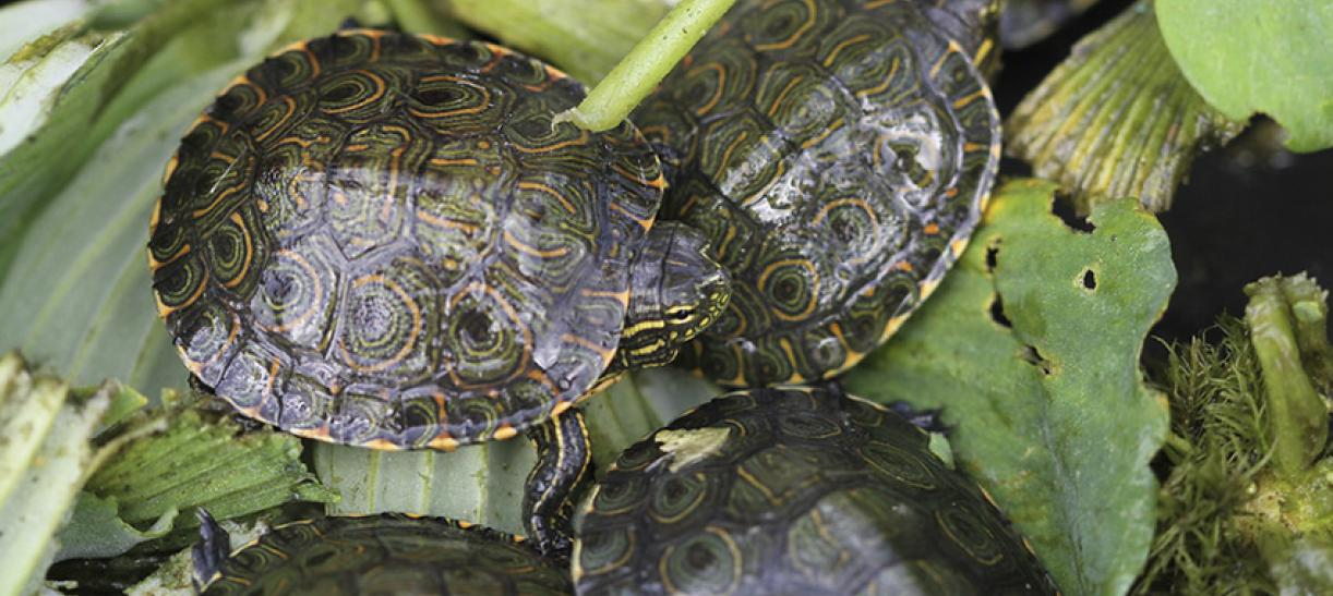 Tortugas liberadas